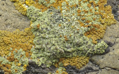 Acarospora stapfiana. Montana.