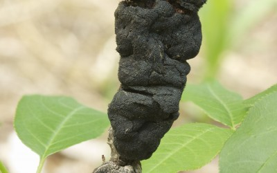 Apiosporina morbosa