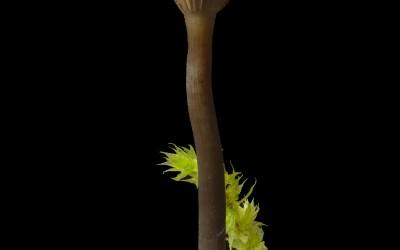Arrhenia epichysium