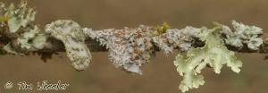 Puyuhue Lichen Stick