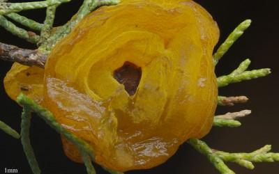 Gymnosporangia juniperi-viginianea