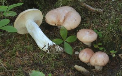 Hygrophorus purpurascens