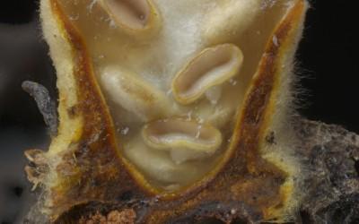 Nidula niveotomentosa