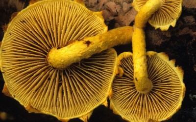 Pholiota aurivella group