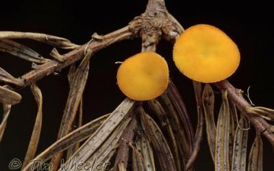 Pithya vulgaris