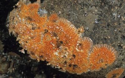 Placopsis imshaugii