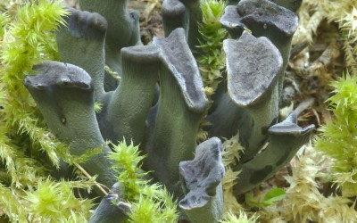 Polyozellus multiplex