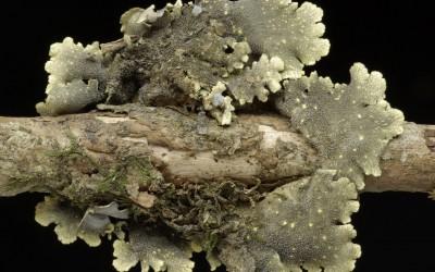 Pseudocyphellaria coerulescens_TWPN_2681_2
