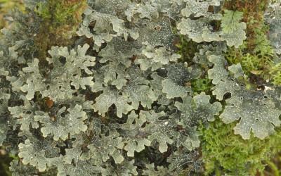 Pseudocyphellaria meyenii