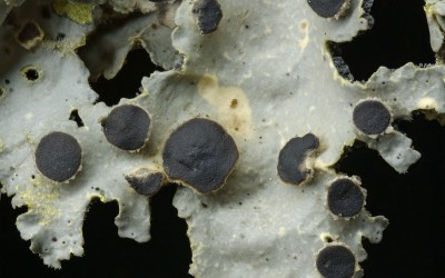Pseudocyphellaria_coerulescens_TW_4367