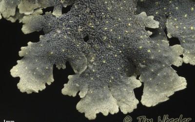 Pseudocyphellaria_coerulescens_lower_TWPN_1842