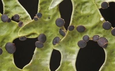 Pseudocyphellaria_divulsa_TWPN_329