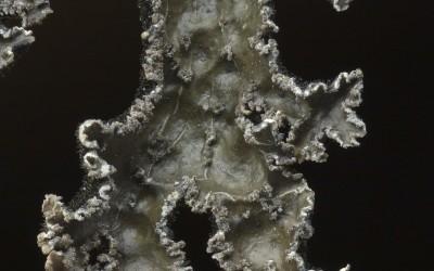Pseudocyphellaria_granulata_TWPN_6178