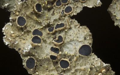Pseudocyphellaria neglecta