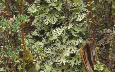 Pseudocyphellaria nitida