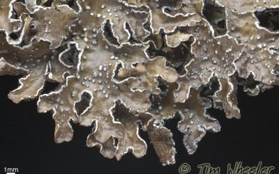 Pseudocyphellaria_norvegica_TWPN_515