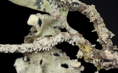 Pseudocyphellaria_obvoluta_TWPN_1980_2