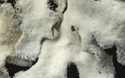 Pseudocyphellaria pluvialis