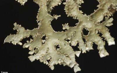 Pseudocyphellaria valdiviana