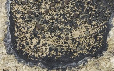 Psorophorus_pholidotus_TWPN_4472