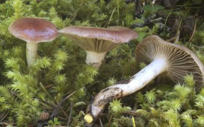 Gomphidius subroseus